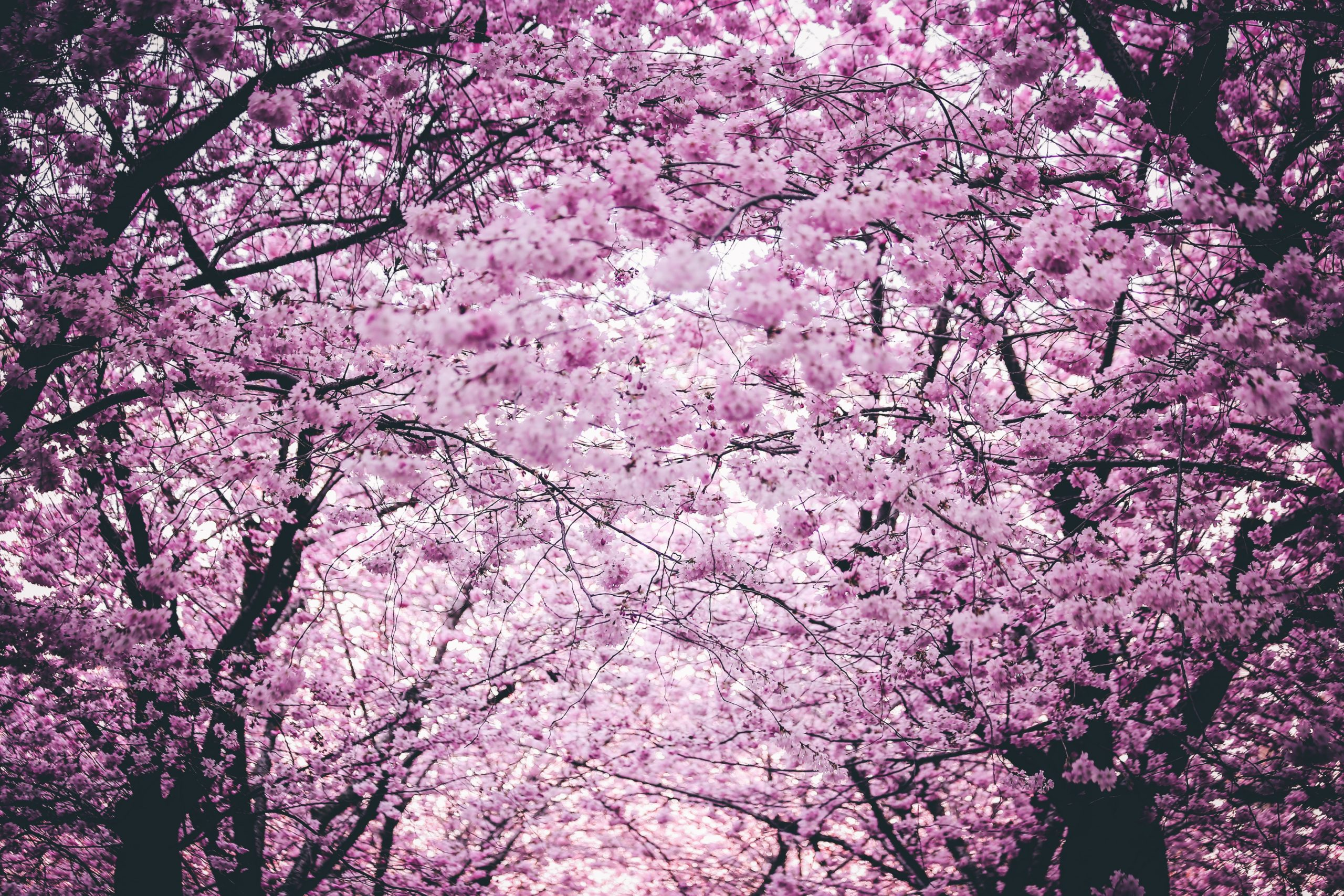cherry-blossom-season-spring-fun